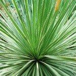 Dasylirion wheeleri Desert Spoon succulent