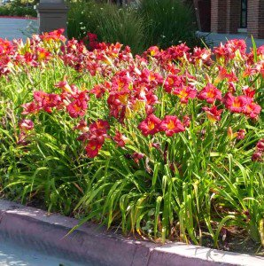 wine red daylilies in sidewalk planter in Monrovia, CA