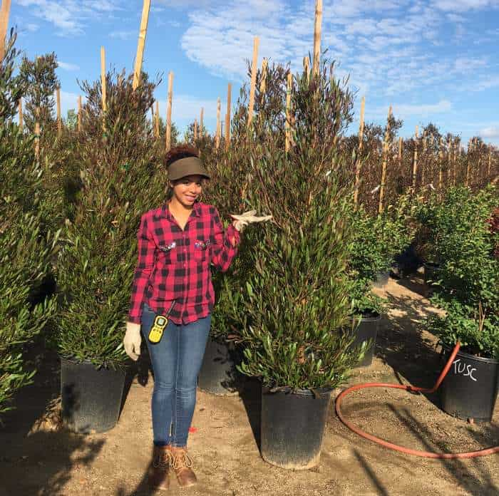 15 gallon Dodonea hedges with a woman standing in front for size reference