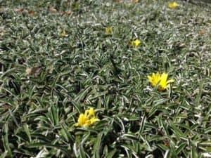 Dymondia margaretae with yellow flowers