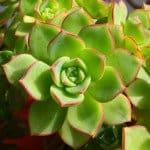 Echeveria succulent closeup