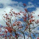 Erythrina caffra - coral tree