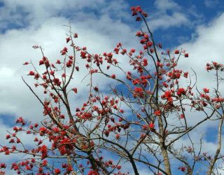 Erythrinacaffra coraltree