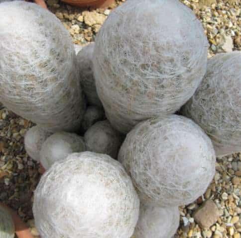 Espostoa lanata Cactus