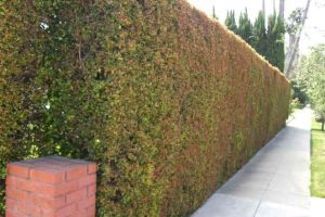 Eugenia privacy hedge along sidewalk