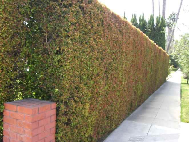 Eugenia privacy hedge along sidewalk