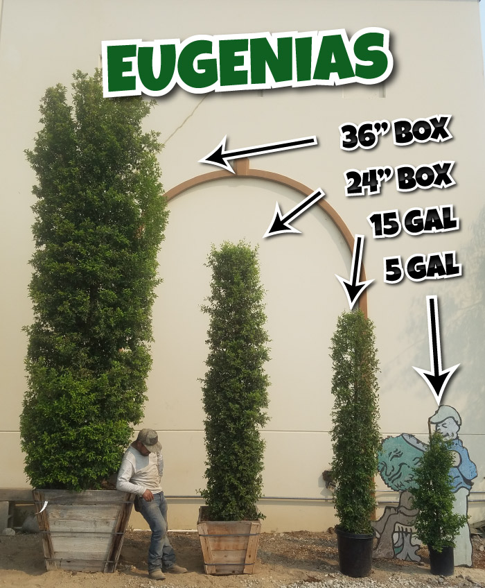 Eugenia hedges all sizes from 5 gallon to 36
