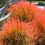 Euphorbia tirucalli 'Sticks on Fire' Succulent