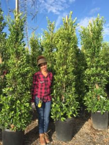 rows of 15 gallon Ficus nitida hedges with a woman standing in front for size reference