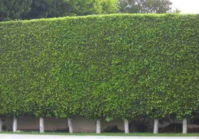 Ficus nitida's in a line to form privacy hedge