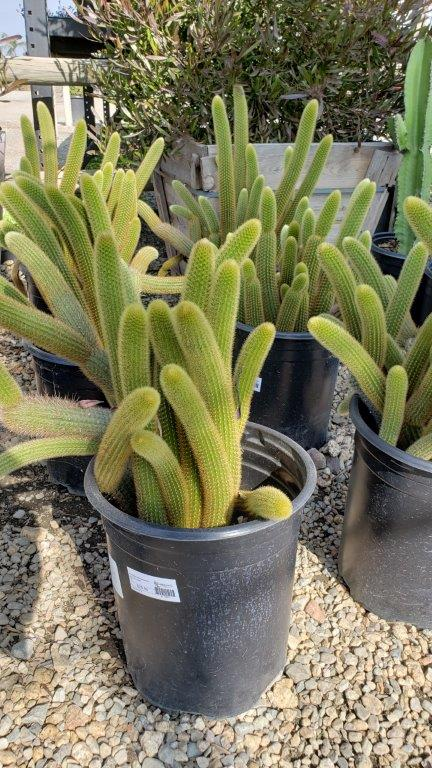 fish tail cactus 1 gallon pots