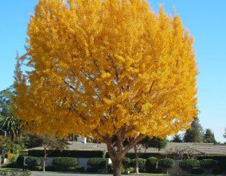 Ginko biloba maidenhair tree