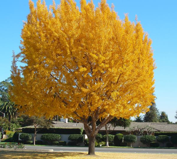 Ginko biloba maidenhair tree