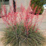 Hesperaloe parviflora Red Yucca succulent
