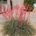 Hesperaloe parviflora Red Yucca succulent