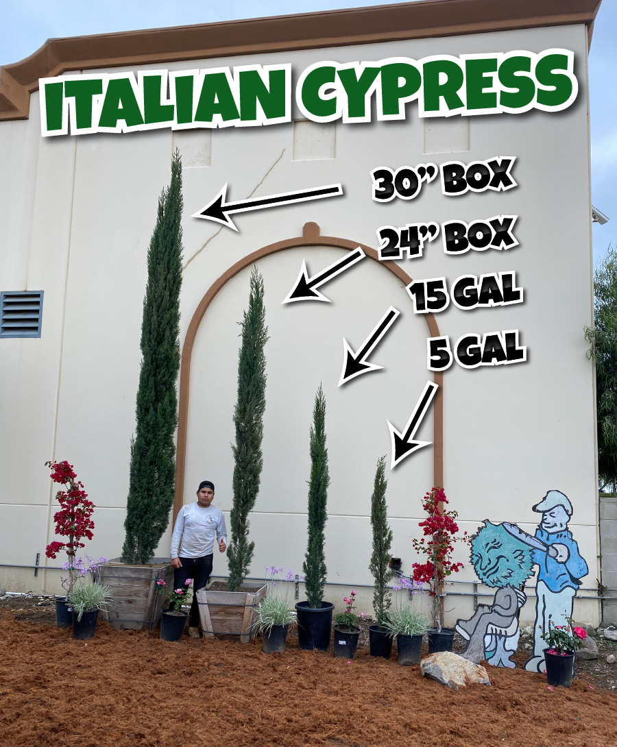 Italian cypress hedges in different size options
