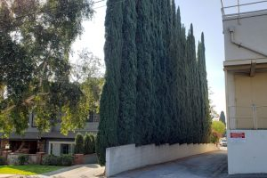 example usage of Italian Cypress hedge trees grouped in a row