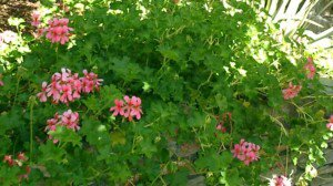 Ivy Geranium plant with pink flowers