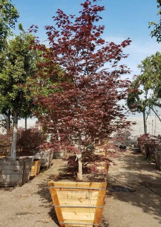 Japanese Maple Bloodgood in twenty four inch Box