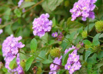 Purple Lantana flowers