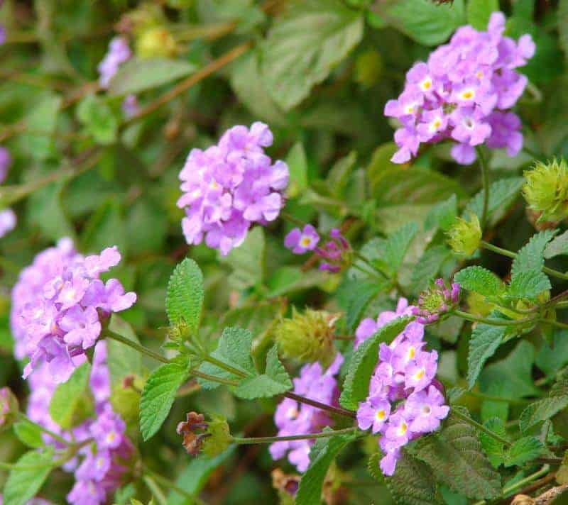Purple Lantana flowers