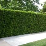 Ligustrum hedge along sidewalk - Texas Privet