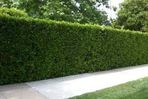 Ligustrum Texas Privet hedge along sidewalk