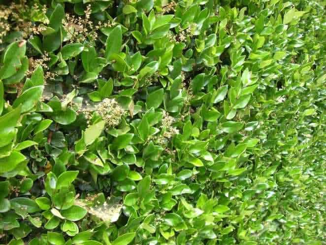 Leaves of Ligustrum hedge