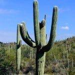 """Pachycereus pringlei """"Baja Sagauro"""" Cactus"""