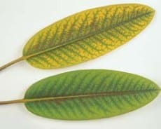 yellowing of leaf from phosphorus deficiency