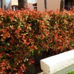 Photinia fraseri red tip