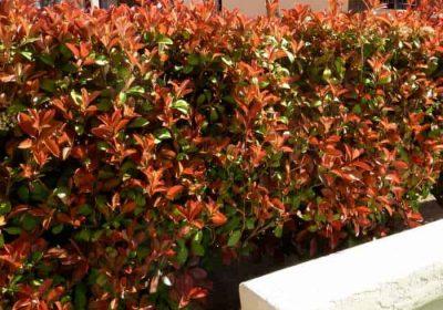 Photinia fraseri red tip
