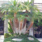 Mature multi trunk Pygmy date palm tree