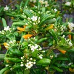 Pittosporum shrub mock orange