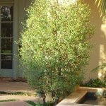 Pittosporum Silver Sheen Shrub