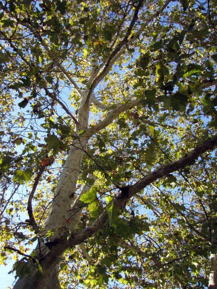 Platanus racemosa California Sycamore tree upshoot
