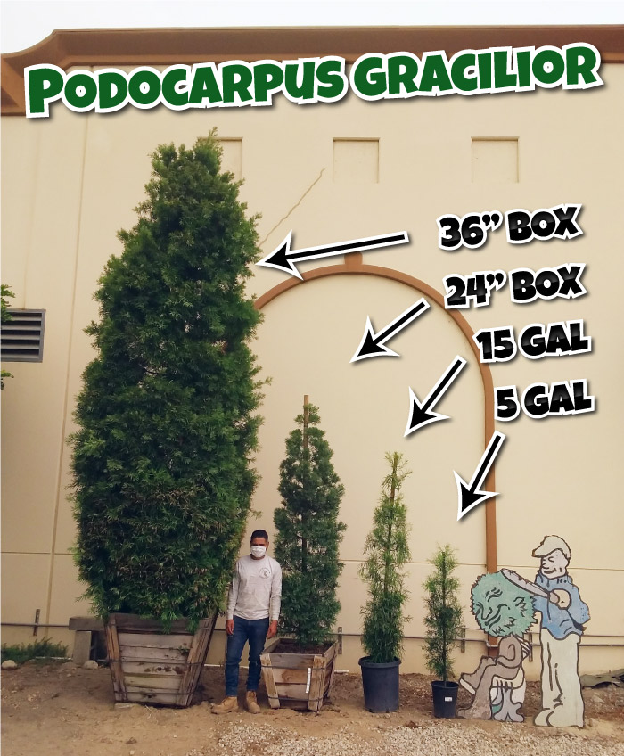 Podocarpus gracilior hedges in 5 gallon 15 gallon and 36 inch box sizes