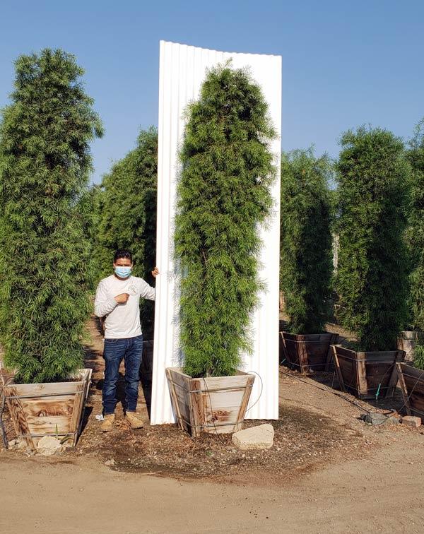 Podocarpus gracilior 24 inch box