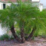 Pygmy Date Palm Tree, Phoenix roebelenii