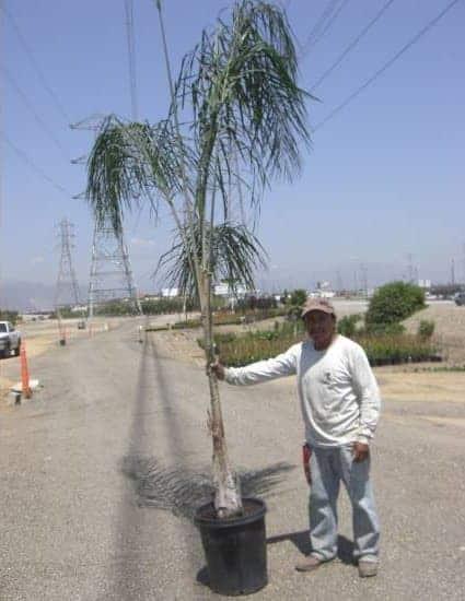 fifteen gallon Queen Palms