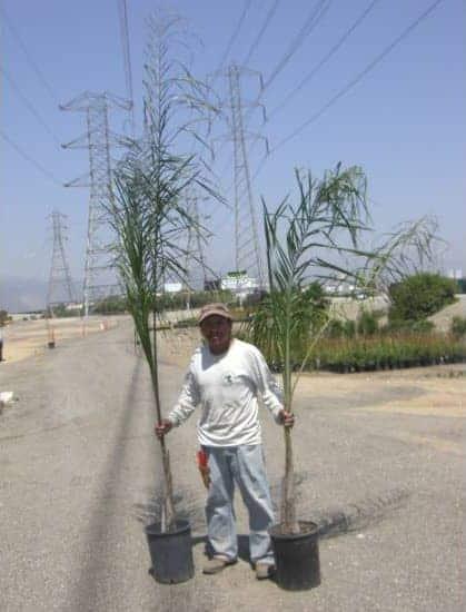 five gallon Queen Palms