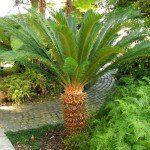 Sago Palm Tree, Cycas revoluta