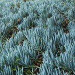 Senecio mandraliscae Blue Chalk Sticks groundcover succulent