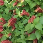 shrimp plant with red flowers