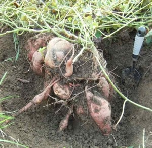 Sweet potatoes pulled out of ground