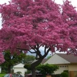 Pink Trumpet Tree - Tabebuia impetiginosa