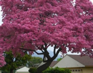 Pink Trumpet Tree Tabebuia impetiginosa