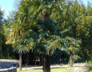 Windmill Palm tree Trachycarpus