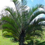 Triangle Palm Tree - Dypsis decaryi