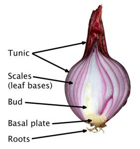 True bulb diagram of an onion